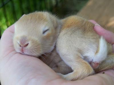 Memelihara anak kelinci dirumah