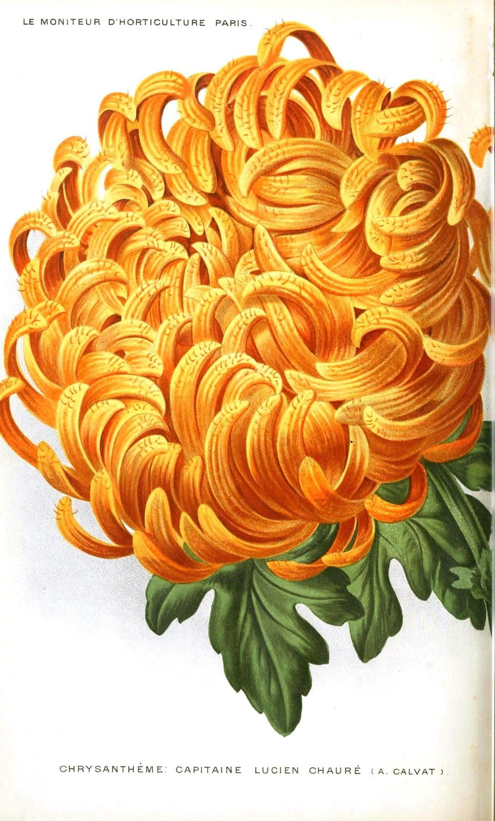 Nostalgic summer happy birthdayvember the chrysanthemum is your birth flower it is one of the most honored flowers in asia in japan chrysanthemums called kikus are exchanged between izmirmasajfo