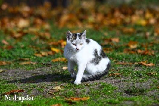 Grzybice skóry u kotów