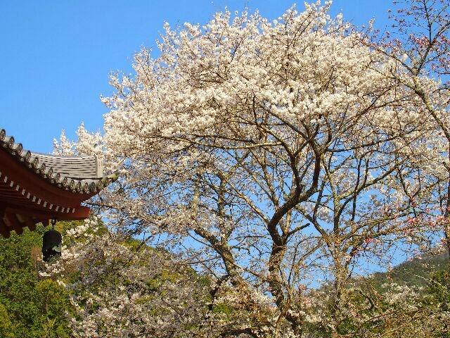 広大な境内には桜の花は約2000本もあるという。