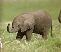 baby elephant pics