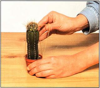 Совместите обе части и закрепите на месте парой эластичных круглых резинок, натянутых поверх верхушки прививаемого кактуса и под основанием горшка растения-подвоя