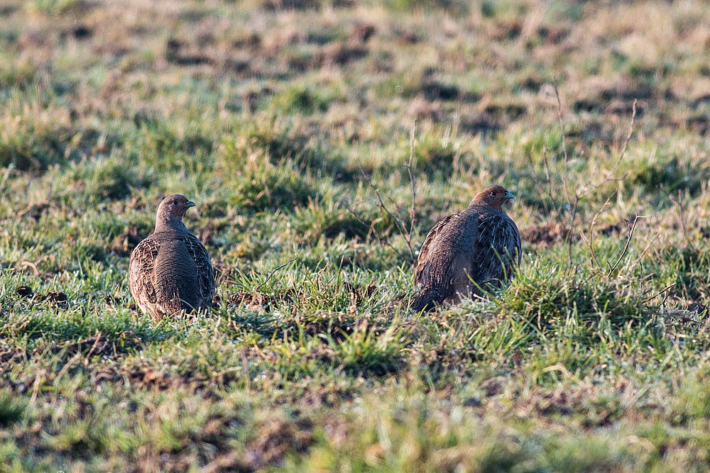 A Pair of Grey Partridge