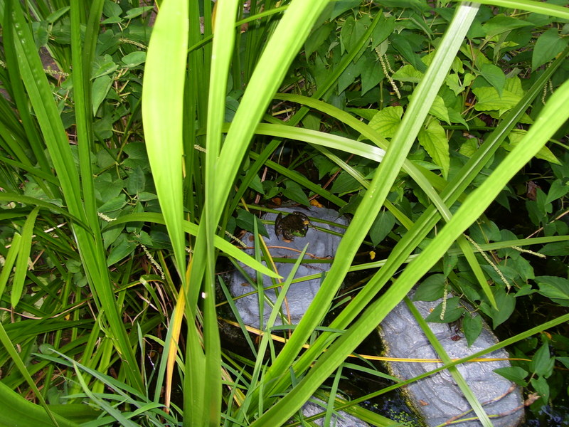 how to get a bullfrog