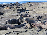 Iguanas and Sea Lions basking in the sun Isabela Island, Galapagos Island, Ecuador