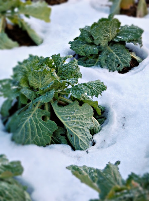 Kale in Snow