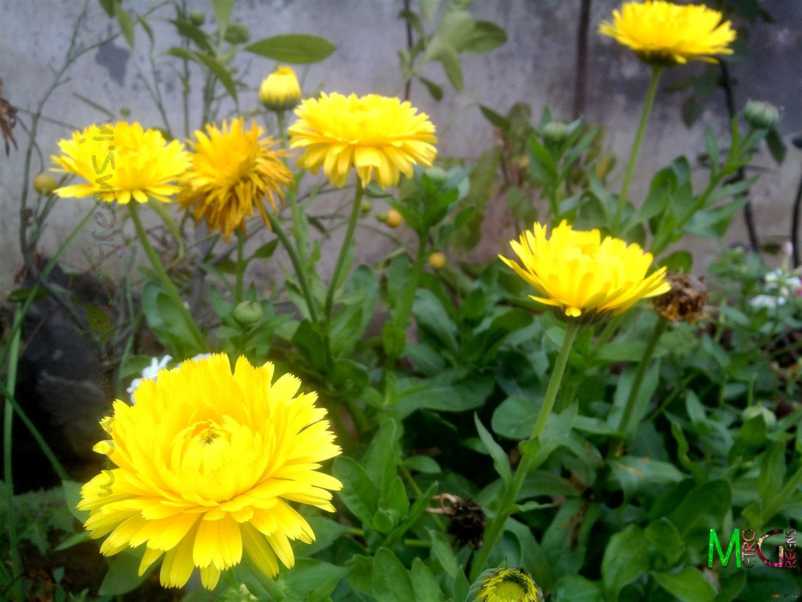 Metro Greens: Yellow Calendula