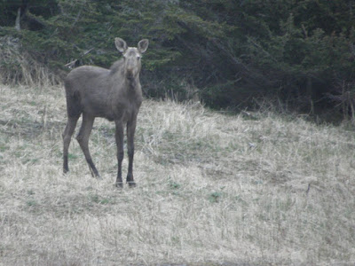 Moose Calf, Cape Onion, NL