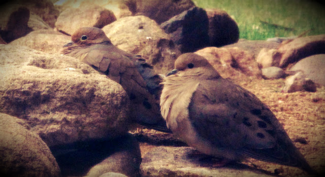 mourning dove reno nevada birds pair mating spring