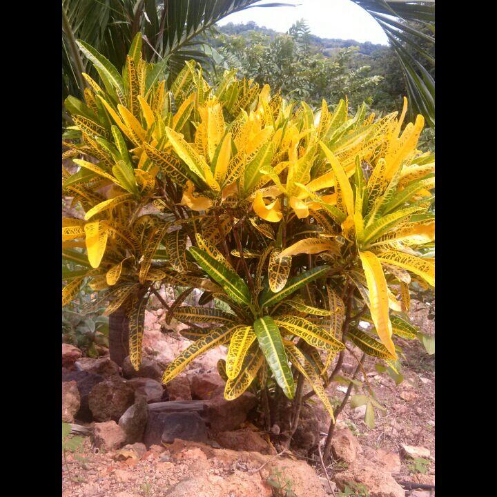 Plantas de panam plantas ornamentales de panam for Cuales son las plantas ornamentales y sus nombres