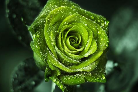 Салатовые розы фото