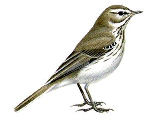water pipit bird (Anthus spinoletta)