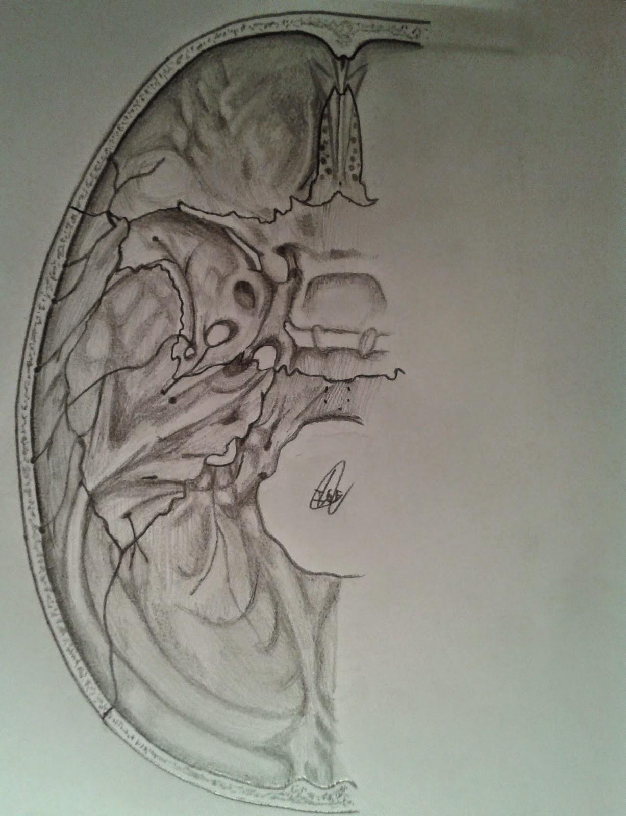 Gantxegi\'s Anatomy: Huesos de la base del cráneo: vista superior