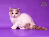 """британские котята помёт """"Б"""""""