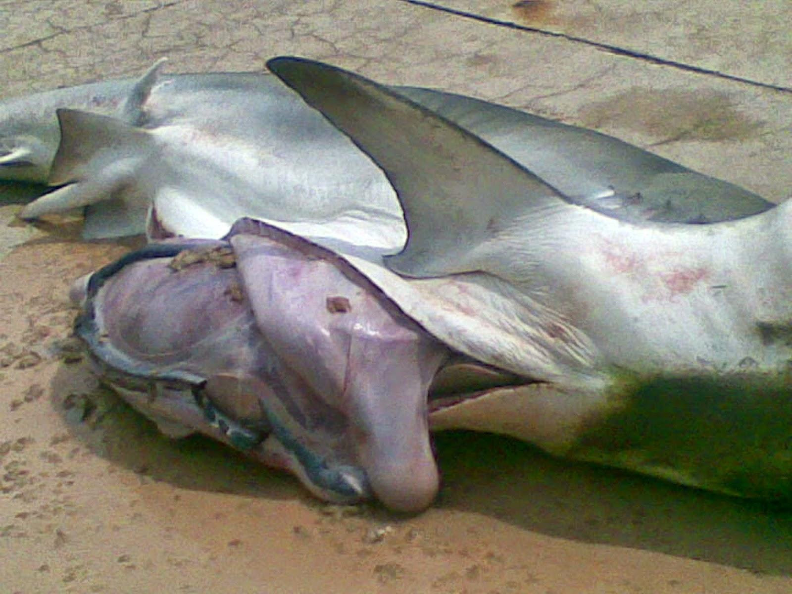 Mermaids Real Videos Real Mermaid Inside a Shark