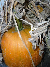 A pumpkin hiding under debris