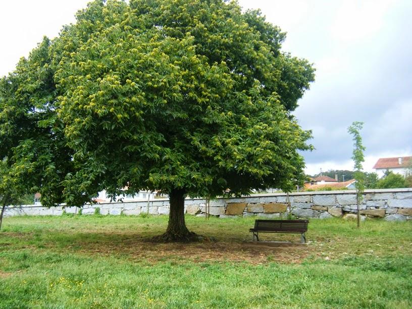 Castanheiro no Parque da Cidade de vale de cambra