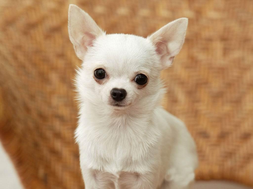 http://3.bp.blogspot.com/-8grKk8vLOLs/Th77OysgdxI/AAAAAAAAACM/kTHVoZukBSQ/s1600/White+Chihuahua+Dogs+Wallpapers+3.jpg