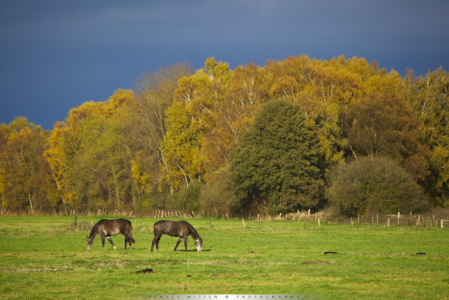 Horses in sunlit meadow against forest in fall colors