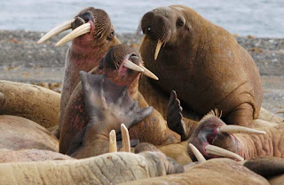 Walrus Image