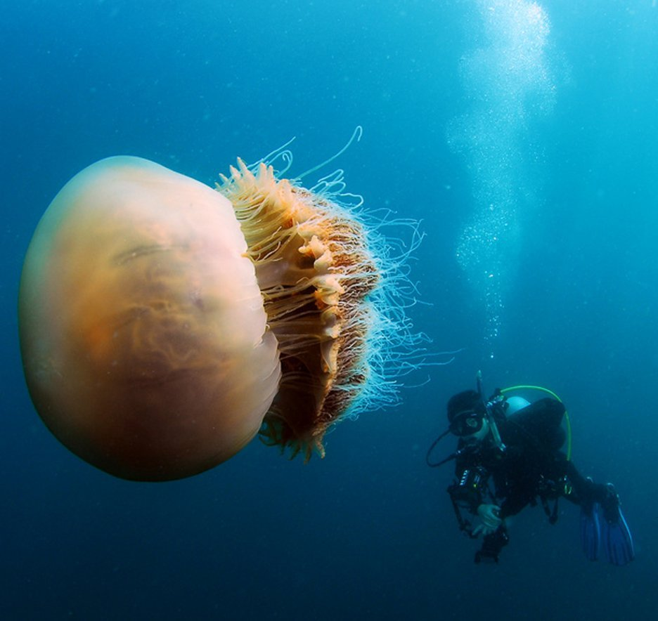 Largest jellyfish species incredible dot com for Fish in jellyfish