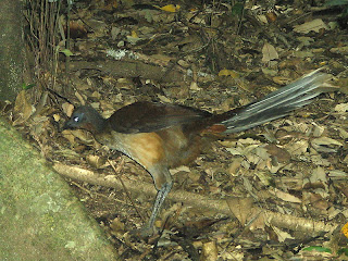 Lyrebird Can Imitate Any Sound