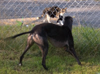 Bettina greyhound confronts kitty