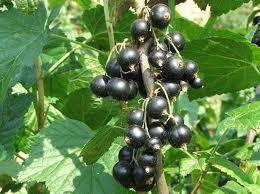 Grosella negra (Ribes nigrum L.)