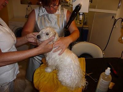 élevage chiots coton de tuléar nantes paris vendée bretagne éleveur chien de race coton