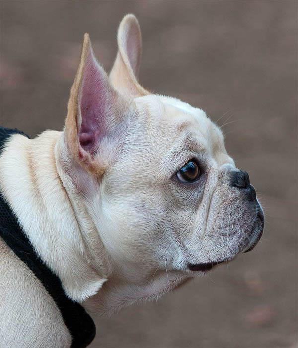 Brachycephalic Dog
