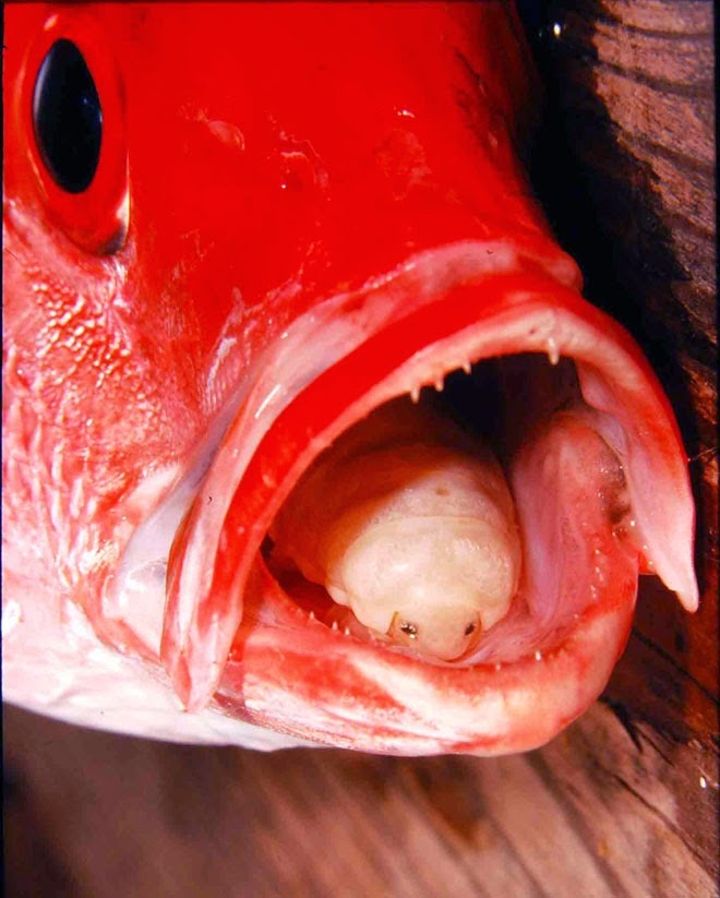 Cymothoa Exigua replaces tongue in red snapper