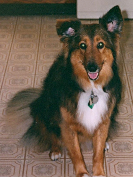 Sheltie Sampson