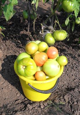 1 августа, собраны первые полведра помидоров