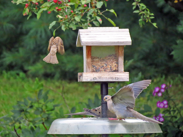 mourning dove and house sparrow winging at feeder