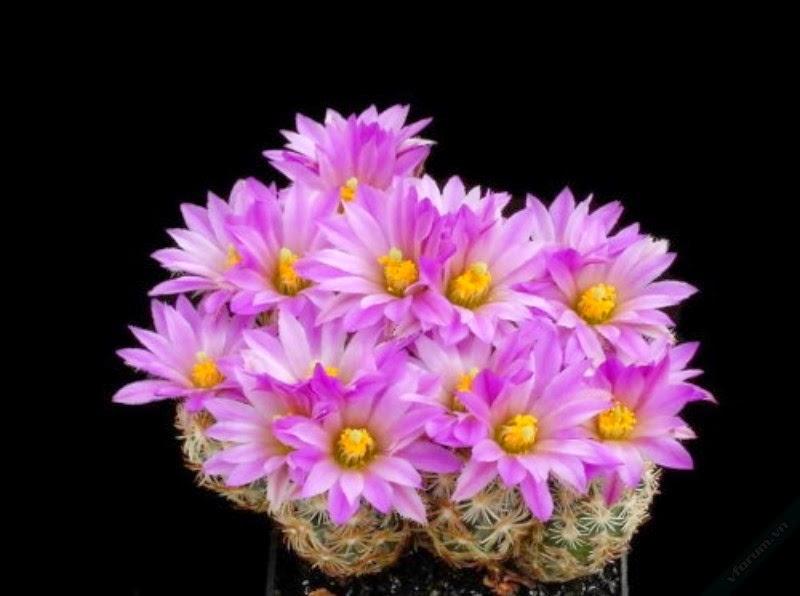 hình ảnh hoa xương rồng đẹp nhất thế giới