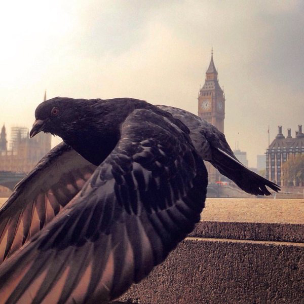 Big Ben, Londres, Paloma