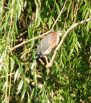 green heron in willow