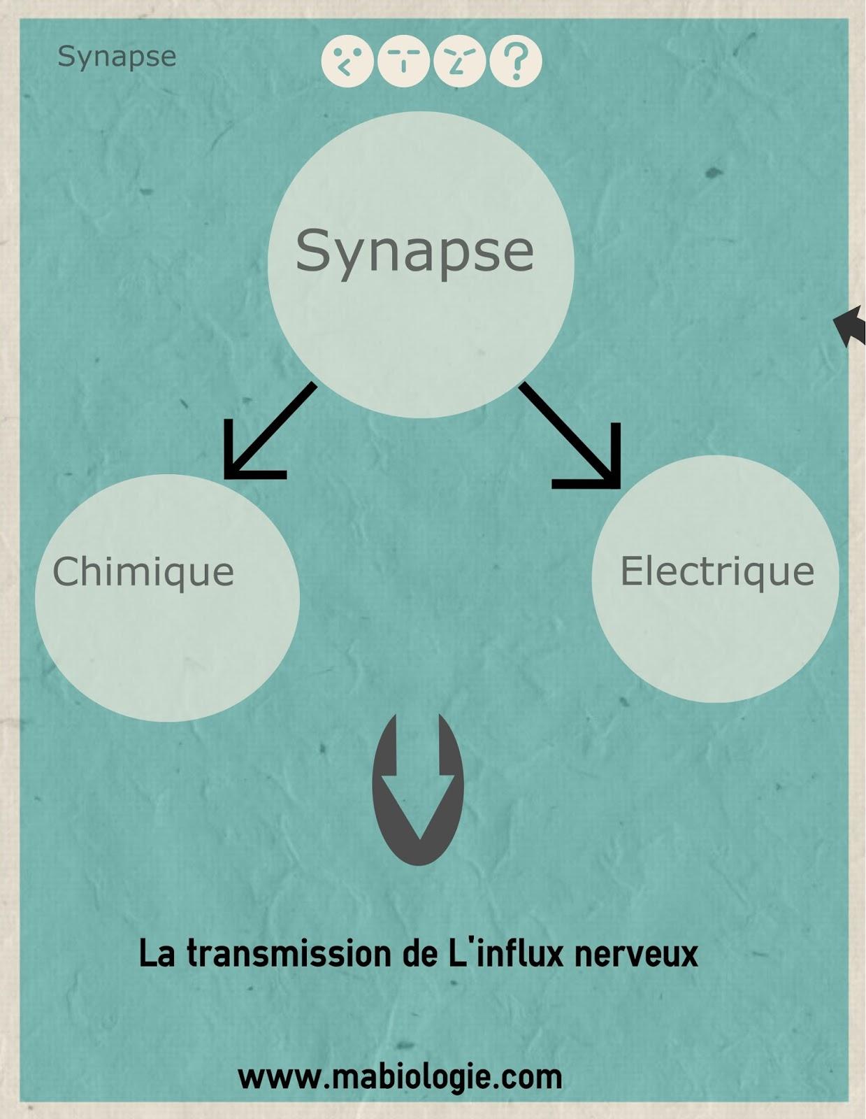 Définition Synapse