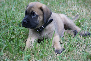 Mastiff Puppy Pictures