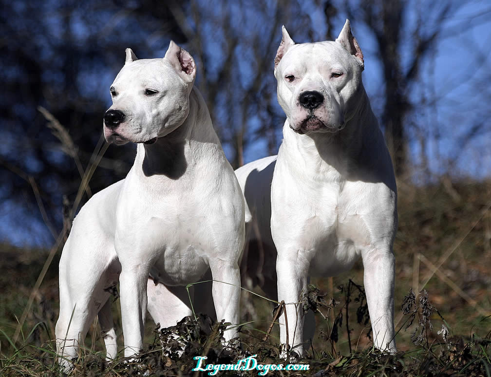 Dogo Argentino Vs Pitbull Size Just not said: fighting dogs