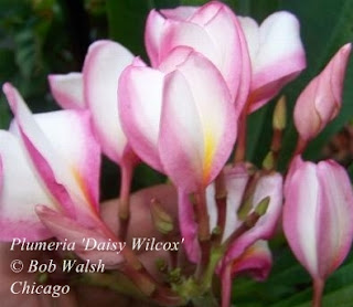 Plumeria 'Daisy Wilcox' flowering in Chicago