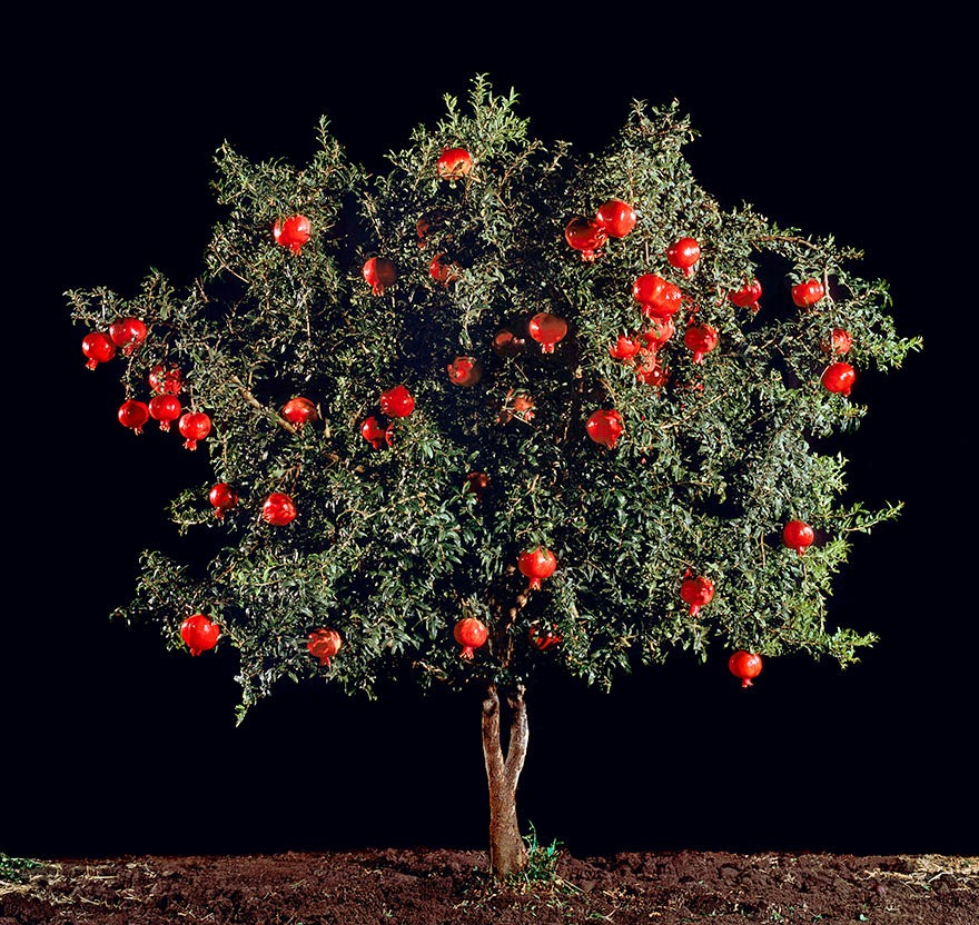 Do You Know What Your Favorite Foods Look Like While Growing - And pomegranates (one of the world's oldest known fruits) can be found like this!