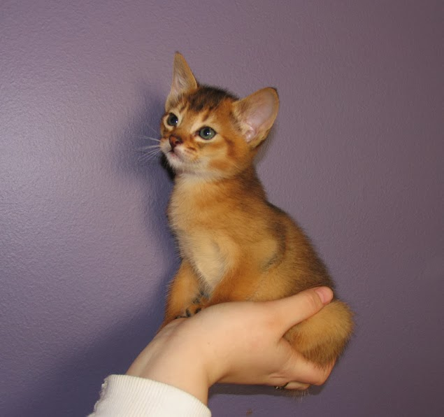 Abyssinian Cat Meow