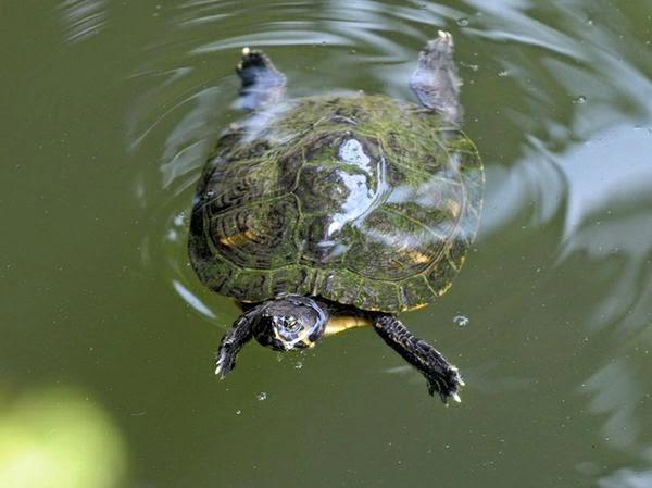 Pulitissima la tartaruga d 39 acqua - Pagine di colorazione tartaruga ...