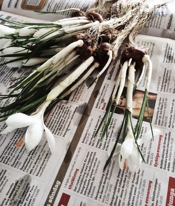 vårfint, blommor i glasburkar, vårlökar, tips på hur man kan plantera, inspiration vårlökar, rensa bort all jord på blommorna och låt rötterna vara synliga, synliga rötter i kruka, planteringstips,