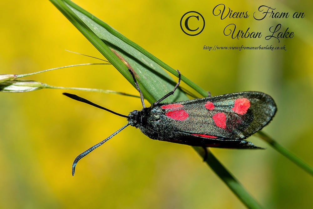5 Spot Burnet Moth - Loughton Valley Park, Milton Keynes