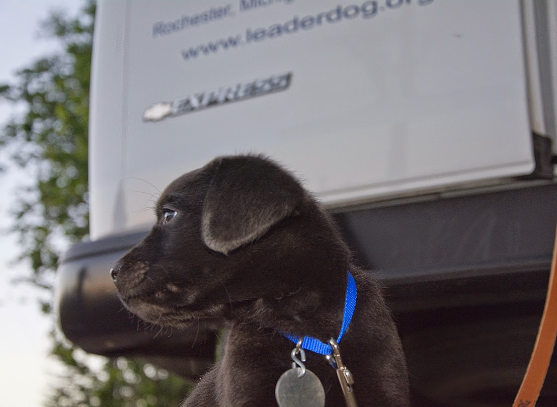 The small black lab puppy is sitting down behind the back of a white van. His head is turned to the left and the leash, attached to his blue collar with a round silver tag, is looped off to the right.