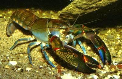 Lobster Air Tawar, pengertian Lobster Air Tawar, Klasifikasi Lobster Air Tawar, Jenis-jenis Lobster Air Tawar