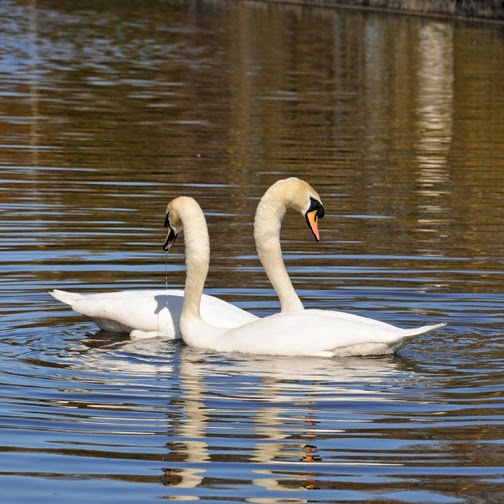 mute swans in courtship display