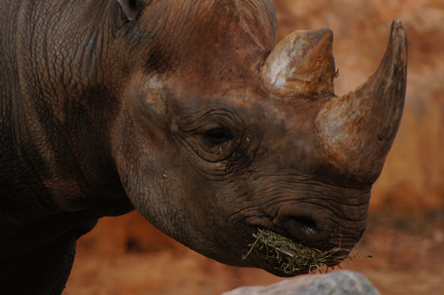 rhinoceros royalty free photo image